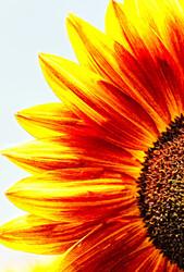 sunflowerseverywhere