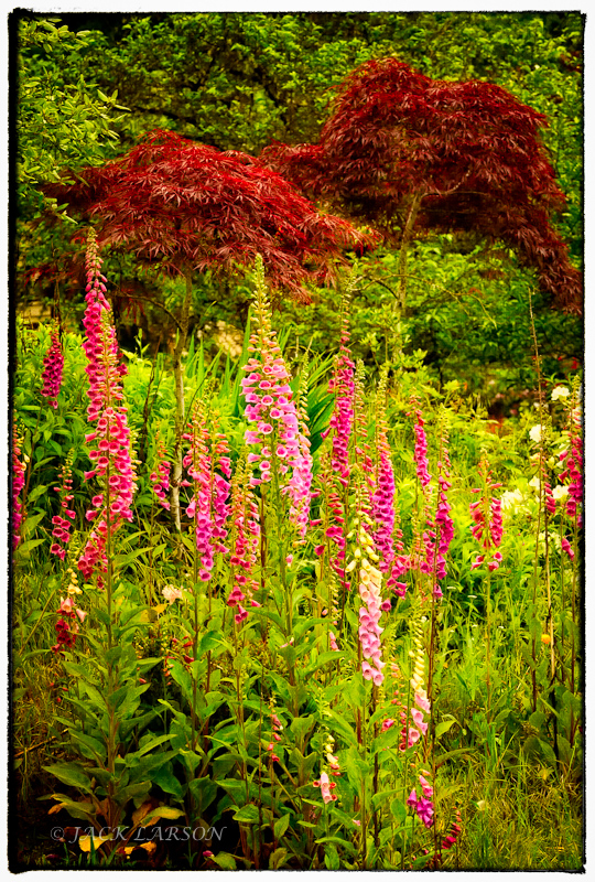 Foxgloves Straight