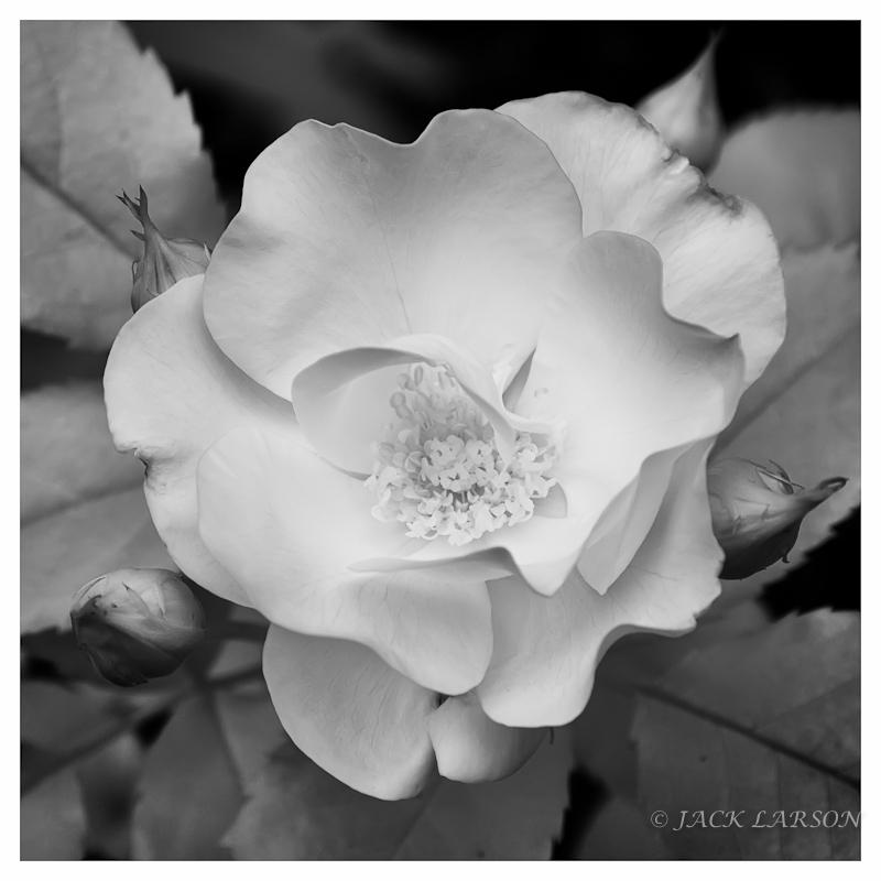 IR Rose