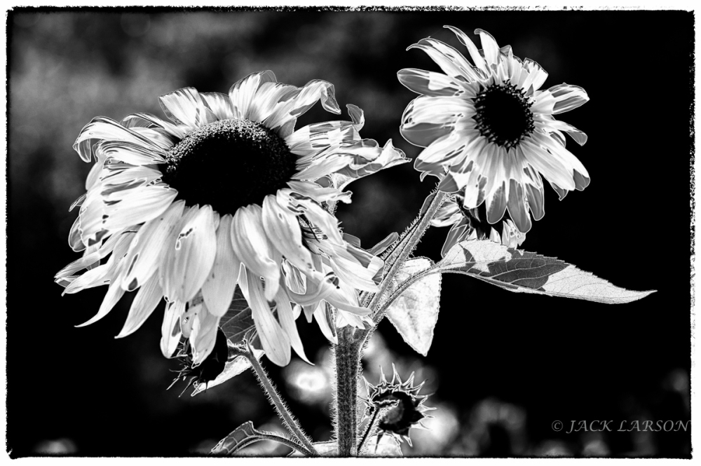 Solarized Sunflower
