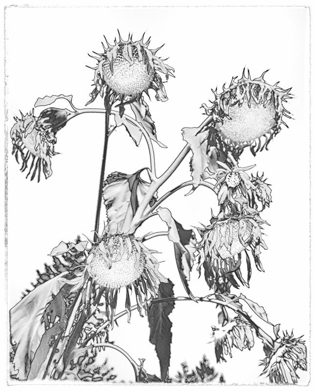 SunflowerIR&Sol#2