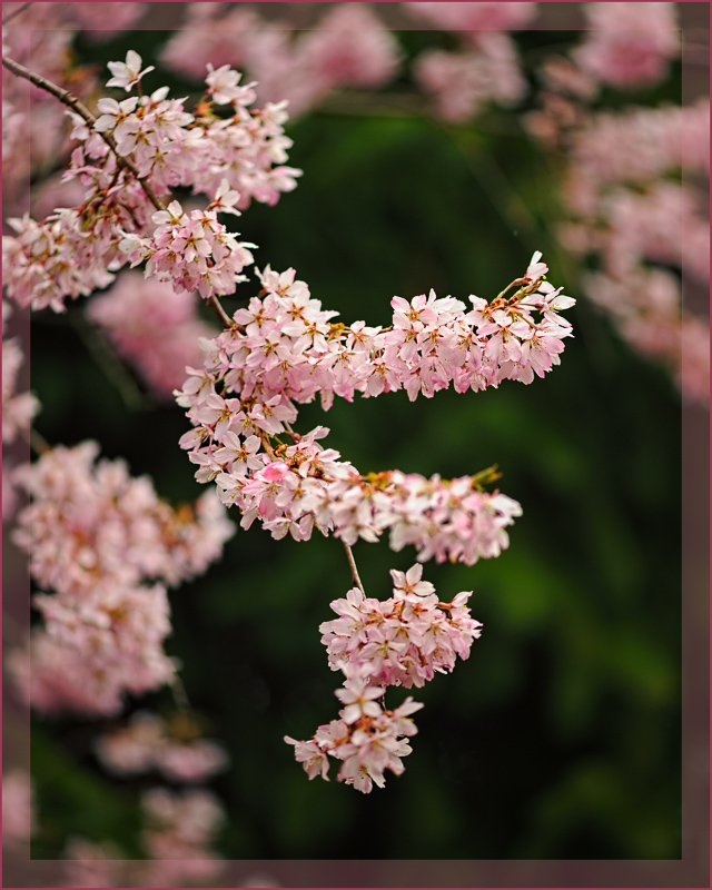 Cascading Pink