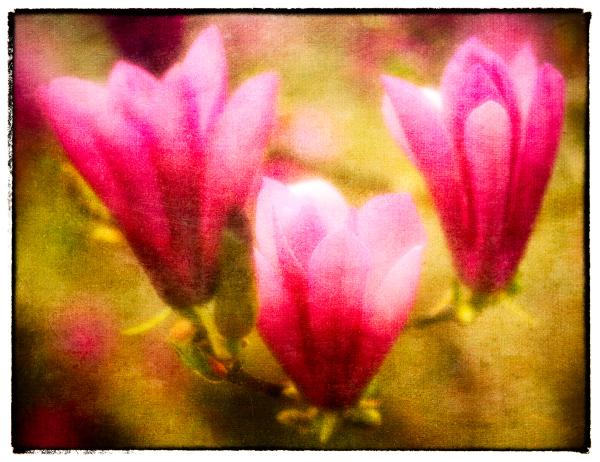 LovelyMagnolias(textures)