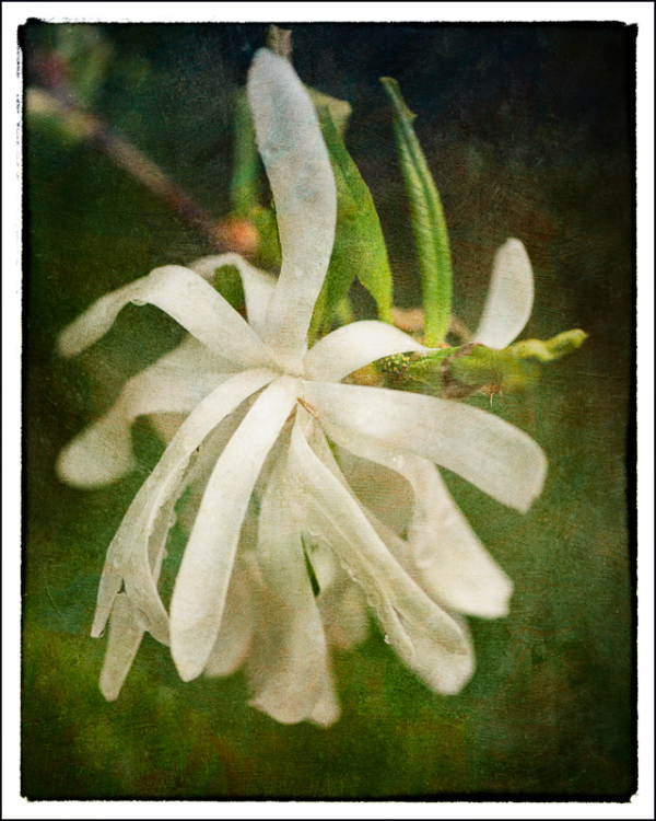Star Magnolia w/texture