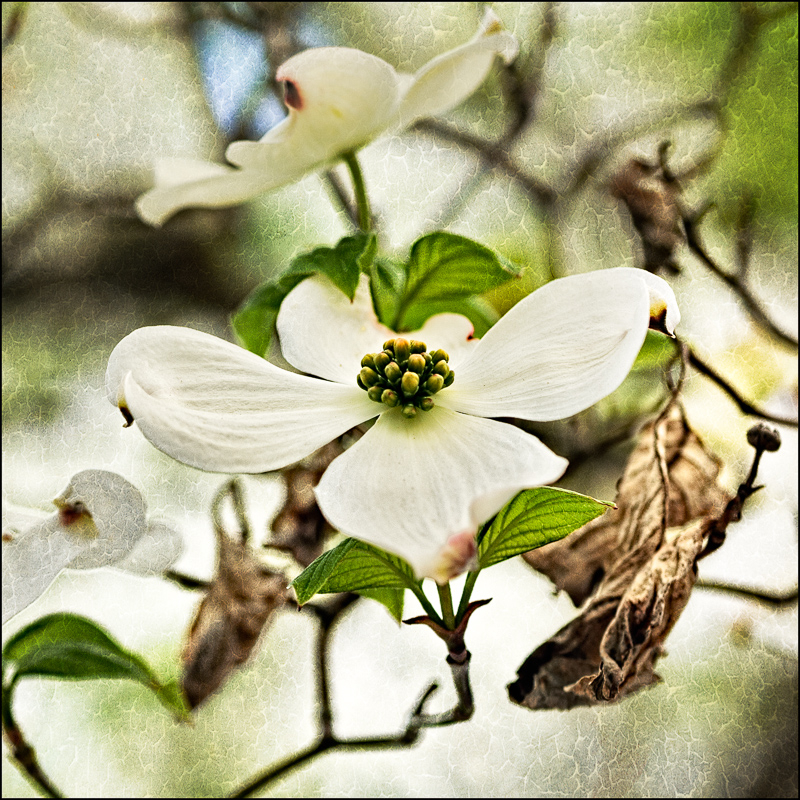 Wonderful Dogwood