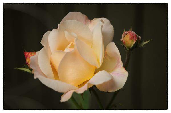 Ellie's Rose