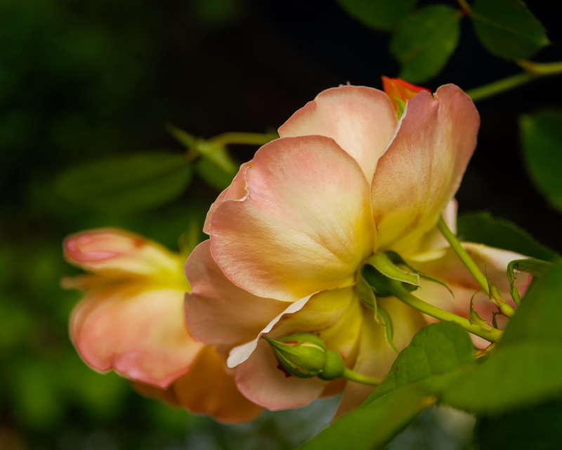 Ellie's Spring Rose