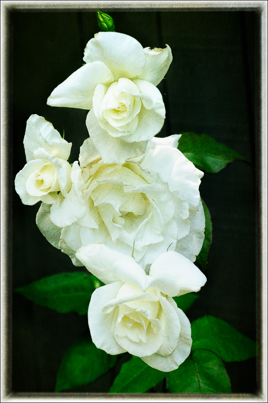 Ellie's White Rose