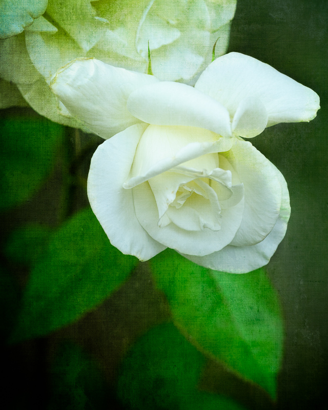 Ellie's White Rose #2