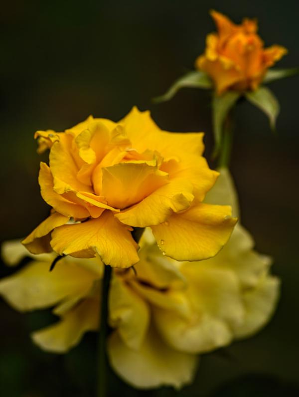 Neighborhood Roses