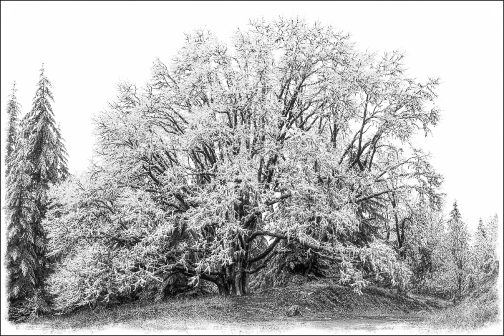 Ice Tree  (Macphun Tonality Pro)