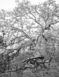 My Tree BW
