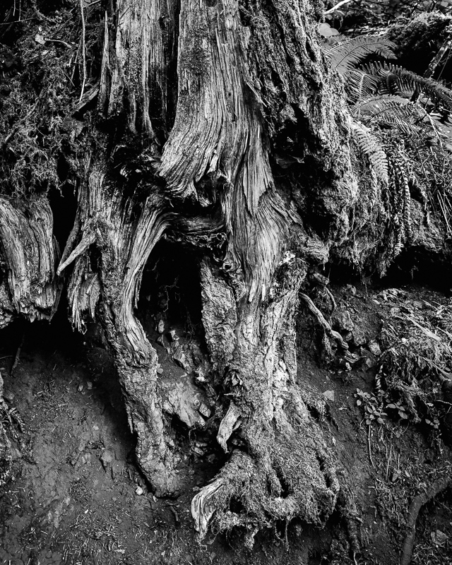 """In the Old Growth BW"""