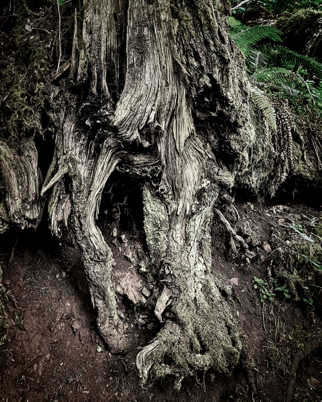 """In the Old Growth Split Tone"""