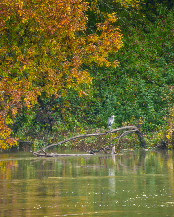 """Great Blue Heron Along the Willamette"""