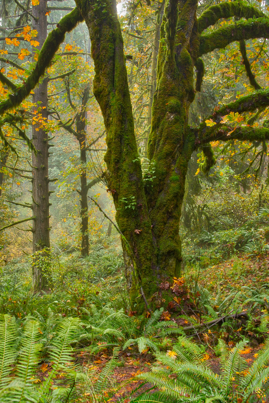 Autumn in the Old Growth Forest