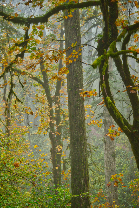 Autumn in the Old Growth Forest #3