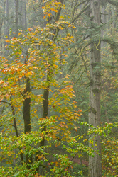 Autumn in the Old Growth Forest #5