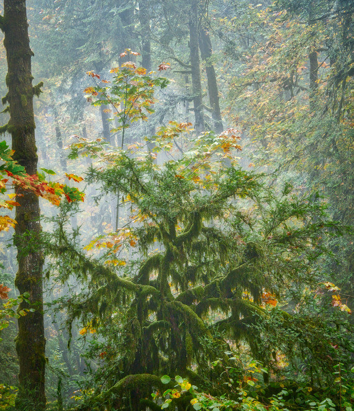 Autumn in the Old Growth Forest #8
