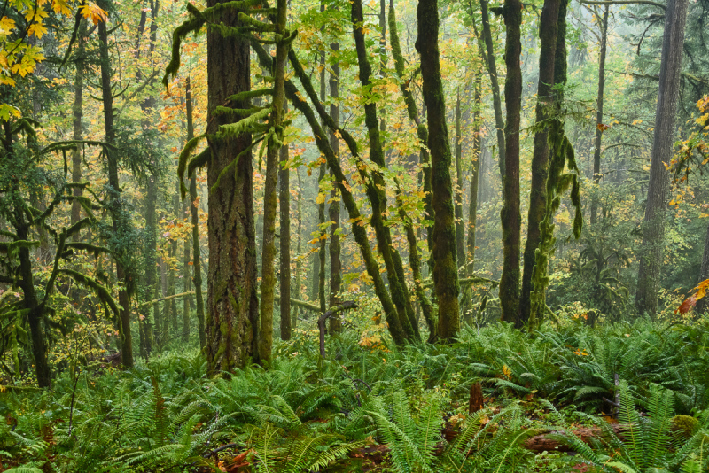 Autumn in the Old Growth Forest #10