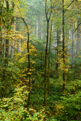 Autumn in the Old Growth Forest #12