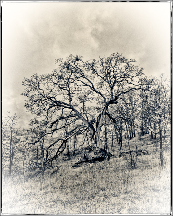 My Tree (infrared)