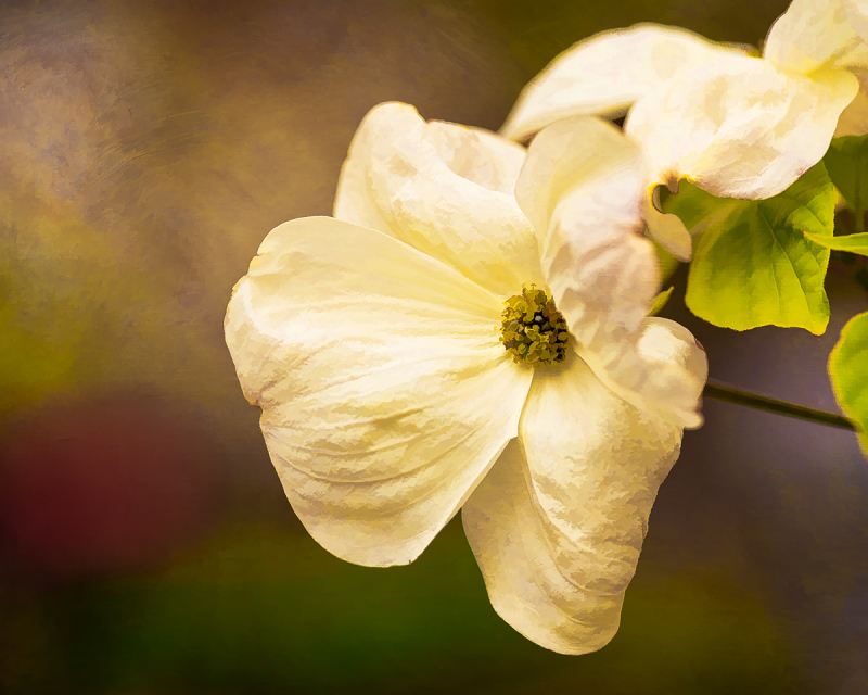Dogwood (painterly)