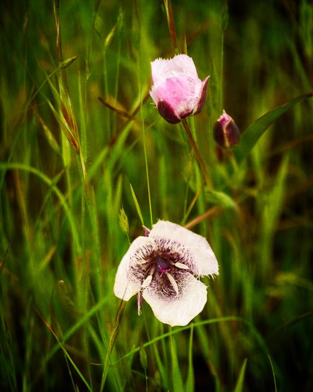 Mariposa Lilies #2