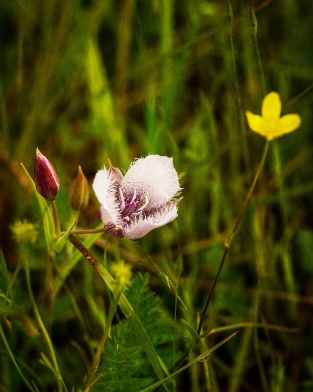 Mariposa Lilies #3