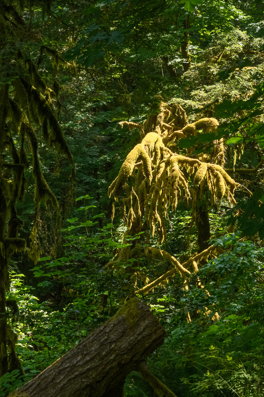 Old Growth Monster #2