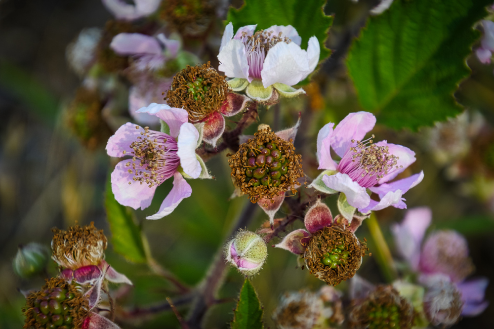 Blackberry Bush Flower