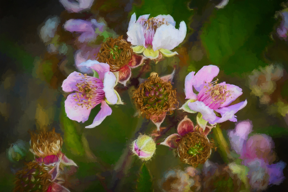 """Blackberry Bush Flower (painterly)"