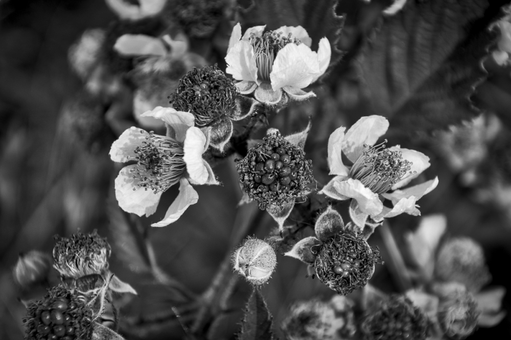 """Blackberry Bush Flower BW"""