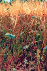 Sunlit Grass & Queen Anne's Lace