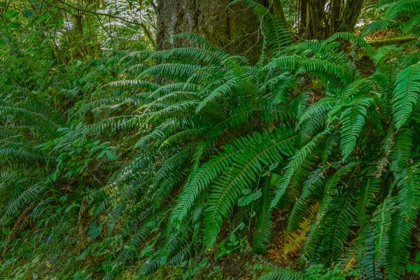 """Jackson Creek Ferns"""