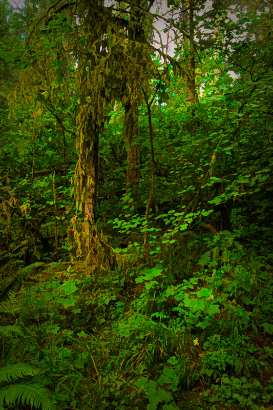 Macdonald Forest #2  Painterly