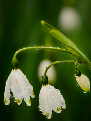 """""""Snow Drops in the Rain"""""""