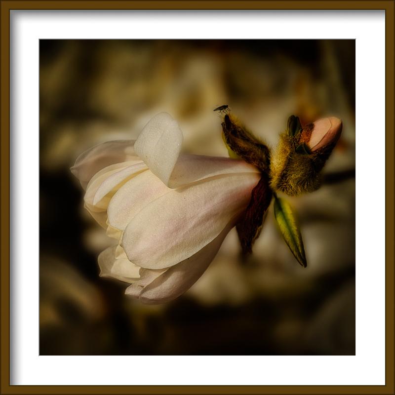 """Star Magnolia Bud"""