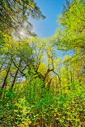 """""WNP Wabi Sabi Tree, Spring, Sun's Up"""