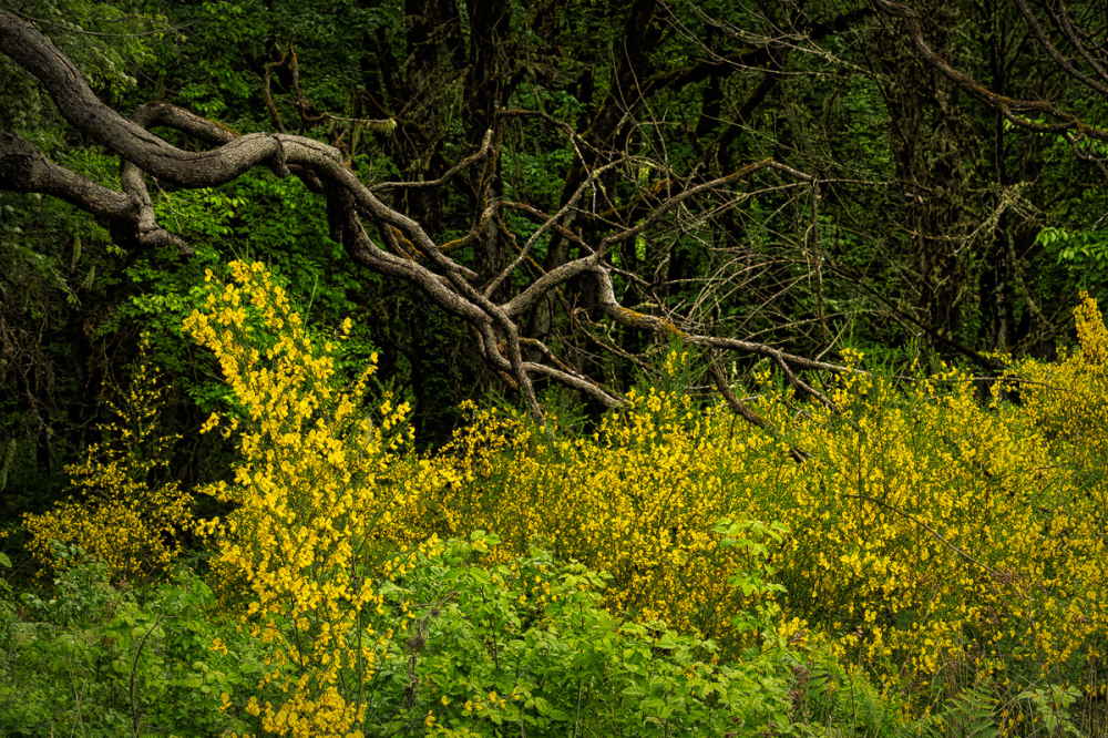 """Wabi Sabi Limbs Enjoying Scotch Broom"""