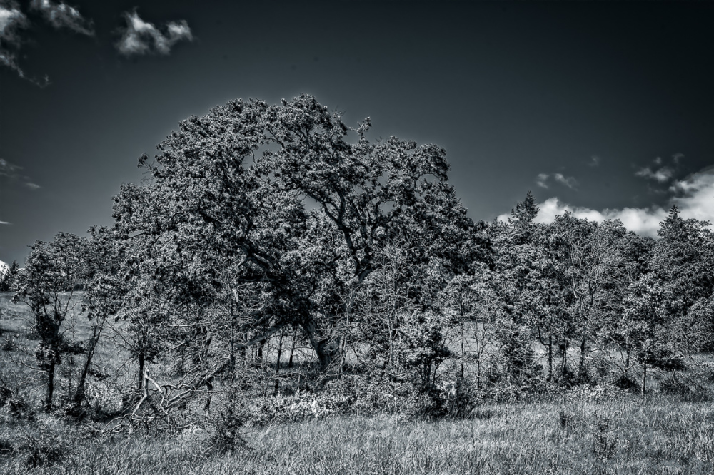 """My TNA Tree in the Spring, BW"""