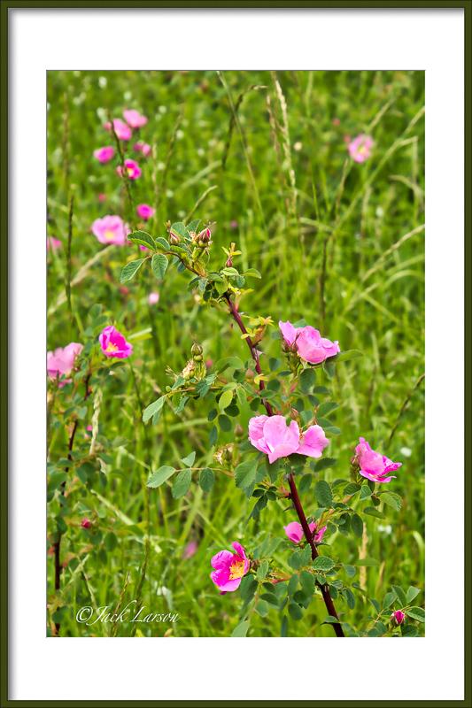 """""""Wild Roses"""""""