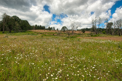 """""""Daisies in the Timberhill Natural Area"""""""