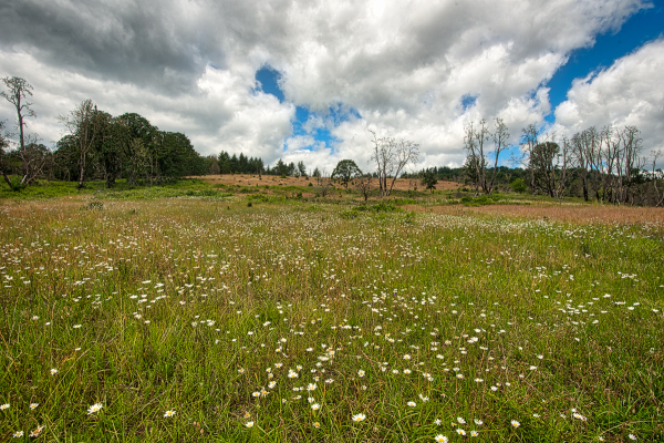 """Daisies in the Timberhill Natural Area"""