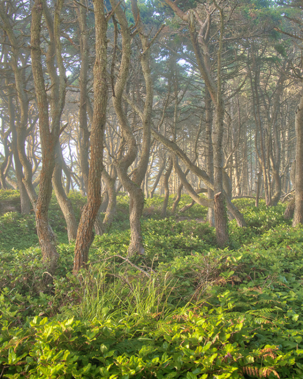 """Coastal Trees (in morning sun & fading fog)"""