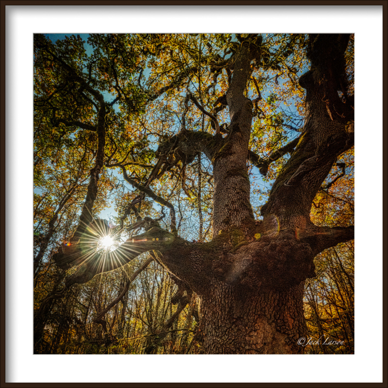 """Sunburst Thru Nobby Tree"""