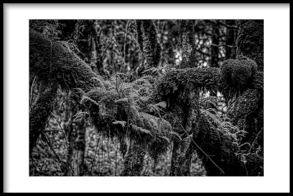 """""""Ferns, Moss, Lichen  BW"""""""