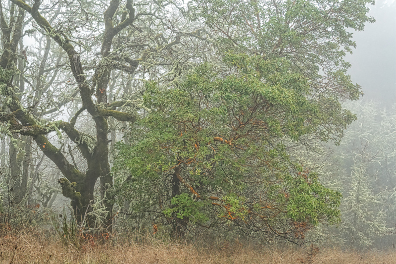 """Savannah Oaks and Madrones in the Fog"""