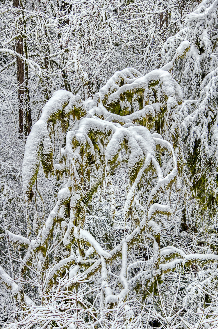 """Old Growth Monster Dressed in White"""