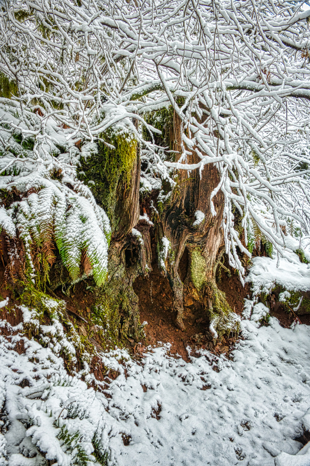 """Decorated Stump in the Old Growth Forest"""